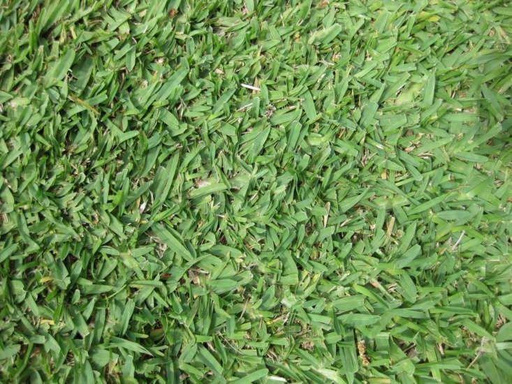 St. Augustine grass. Photograph by Raffi Kojian via Wikimedia.