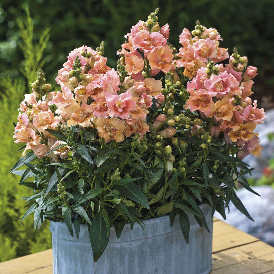 A packet of 0 Twinny Peach Snapdragon seeds, which will grow into compact plants up to src=