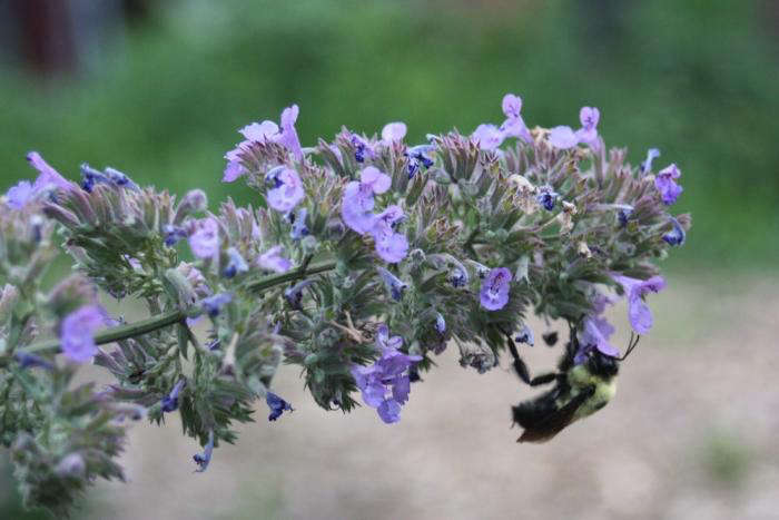 Butterflies don&#8\2\17;t have a monopoly; bees also enjoy the nectar of Buddleia. See more in Take the El to 46th Street and Get Off at the Farm. Photograph by David Ferris.
