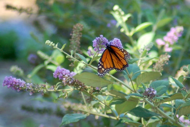 Buddleia butterfly bush with monarch butterfly. Photograph by Wht_wolf9653 via Flickr.