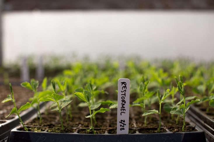 A flat of sweet pea seedlings at Floret.Photograph byChris Benzakein, courtesy of Floret.