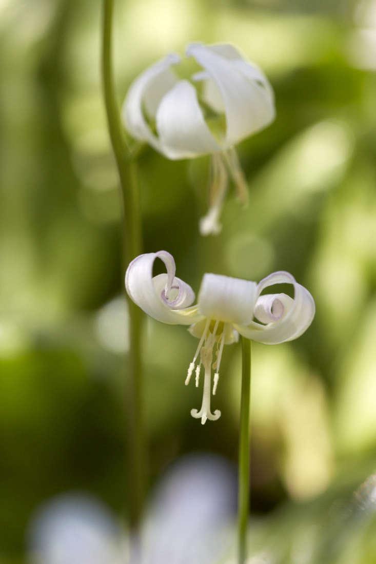 Erythronium californicum &#8