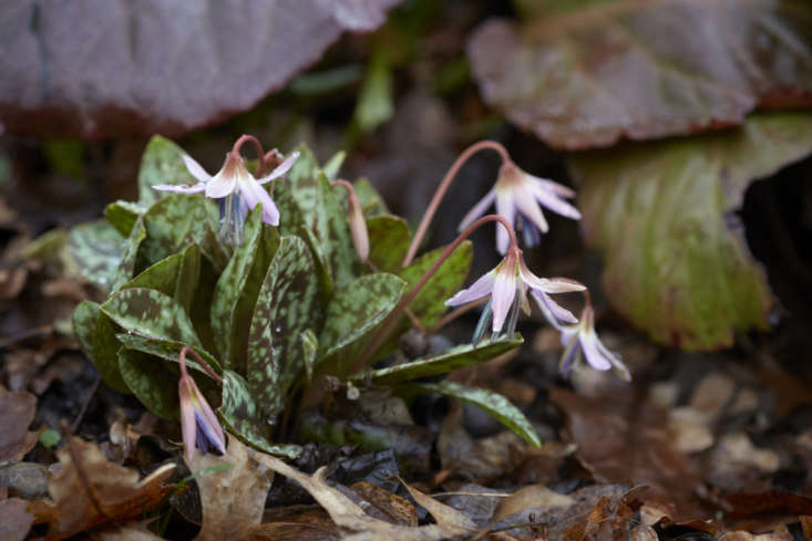 Simple Erythronium dens-canisin leaf litter at Beth Chatto Gardens.
