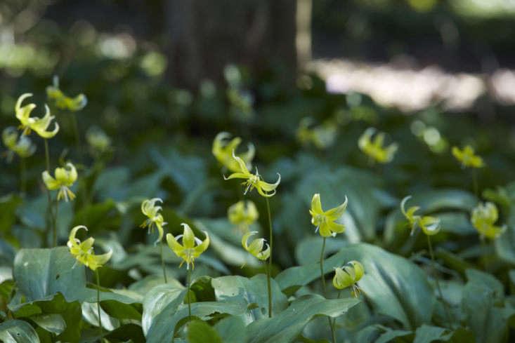 Slightly mottled leaves and pagoda-like petals of Erythronium &#8