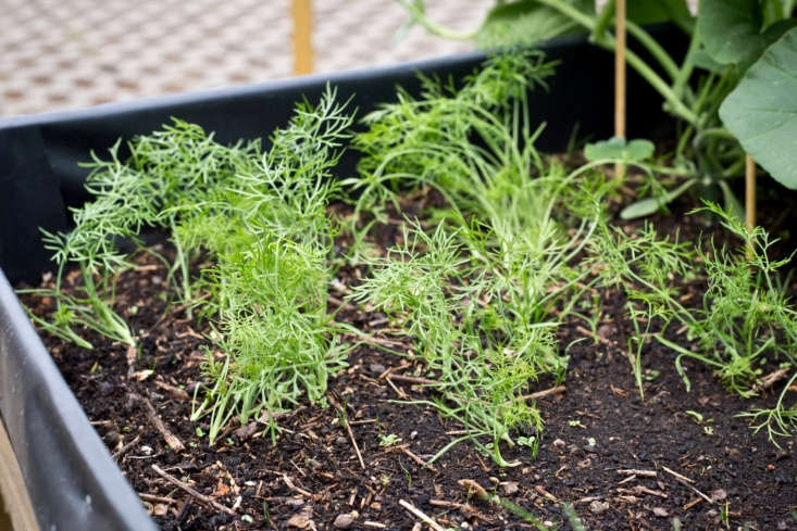 Fennel seedlings. Photograph by Maja Dumat via Flickr.