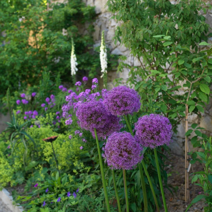 Purple drumstick alliums (Allium sphaerocephalon) bloom in clusters on either side of the path. See more growing tips in Alliums: A Field Guide to Planting, Care & Design.