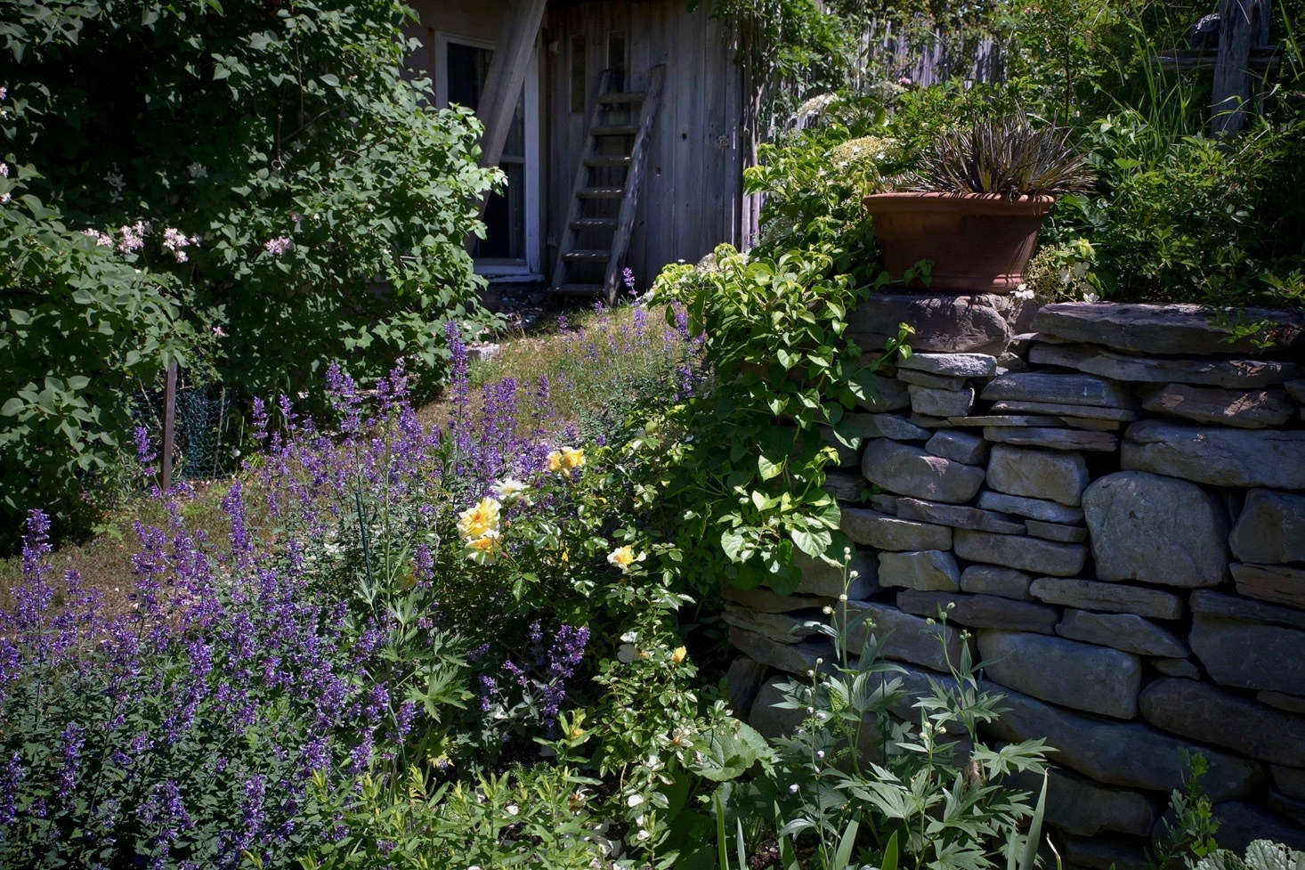 a yellow Leverkusen rose contrasts beautifully with purple Nepeta 'Six Hills Giant' against the backdrop of a dry-stacked wall. Photograph by Justine Hand.