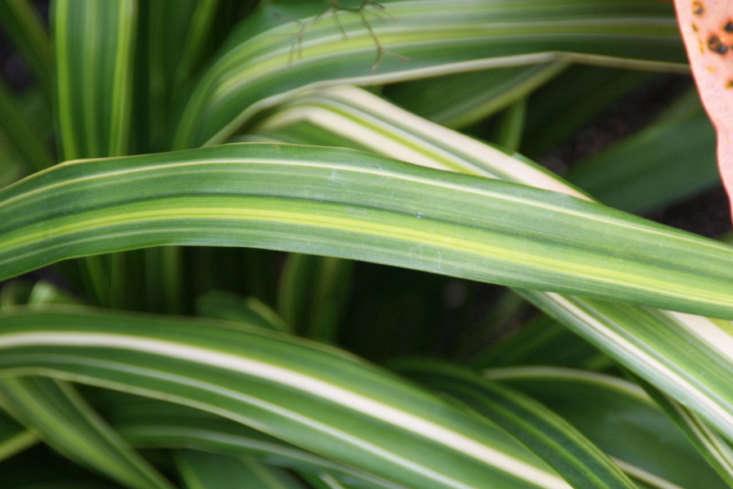 Dianella tasmanica &#8\2\16;Yellow Stripe&#8\2\17; has beautifully variegated foliage. Photograph by David J. Stang via Wikimedia.