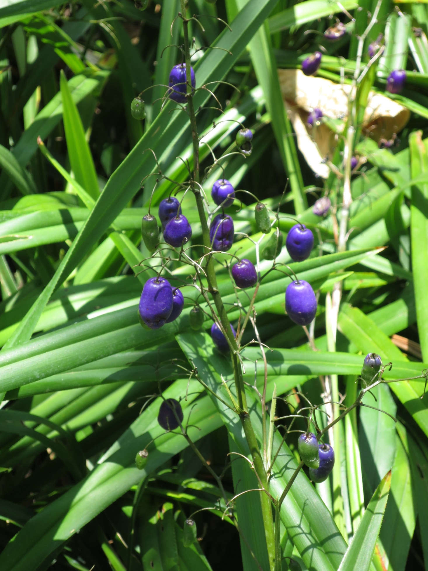 After flowers fade, flax lily produces berries. Photograph by Wmpearl via Wikimedia.