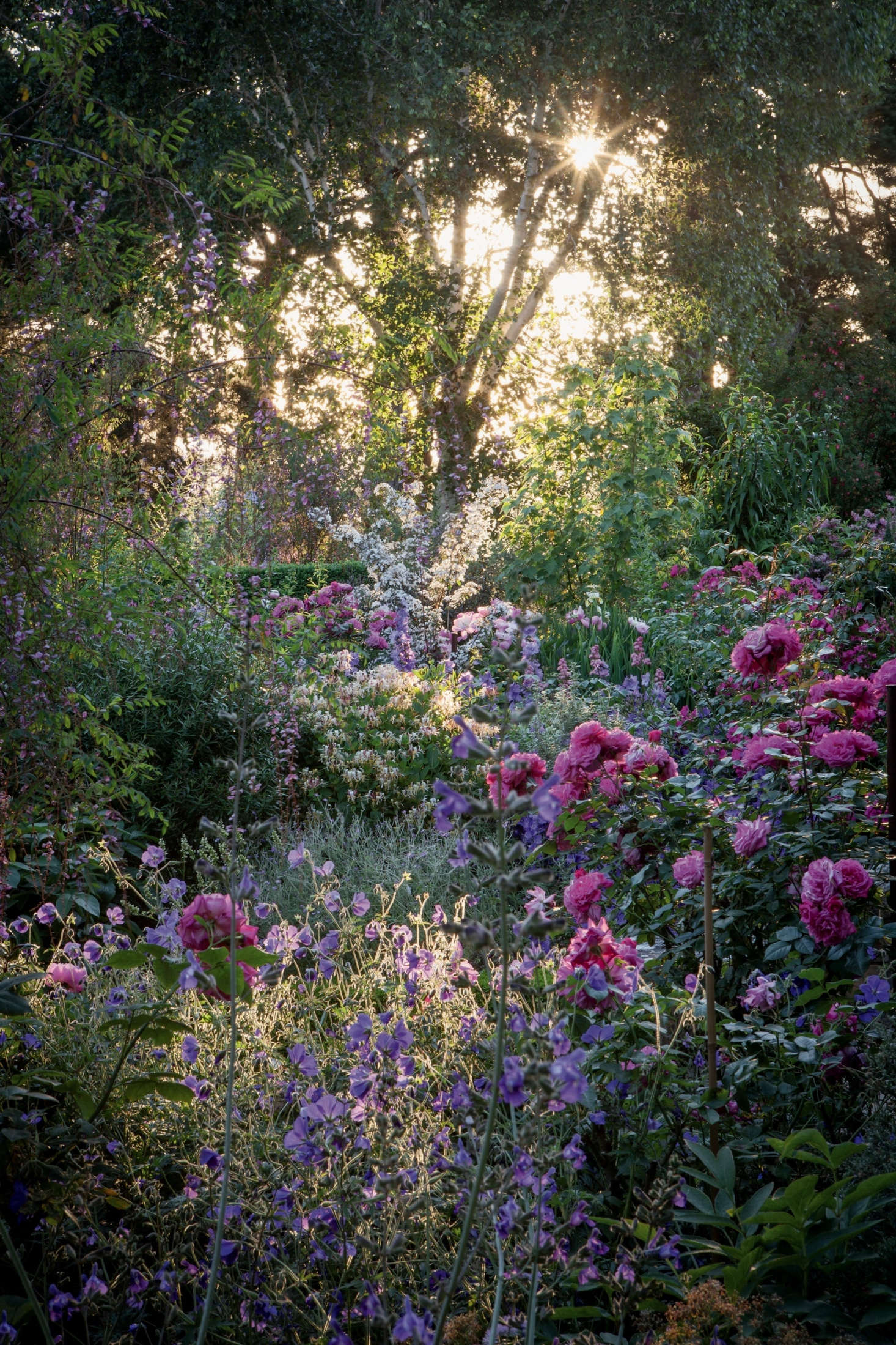 Pictured is the pink Rosa 'Rita', Salvia candelabrum, Geranium robustum, and one of the garden's signature shrubs:Deutzia setchuenensis var. corymbiflora, introduced to the garden by Diany.