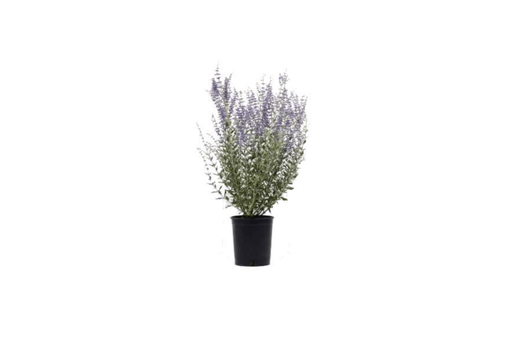 Russian sage is available Vertigrow in the UK.