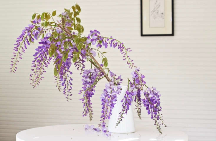 Foraged wisteria from Michelle&#8\2\17;s next-door neighbor&#8\2\17;s vines. Photograph by Mimi Giboin for Gardenista, from Mysterious Wisteria: An Irresistible Flower Goes from Vine to Vase.
