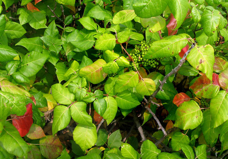 Poison ivy berries are called drupes. Photograph by Sandra Richard, via Flickr.