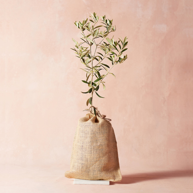 An Arbequina Olive Tree in a burlap cover is $8