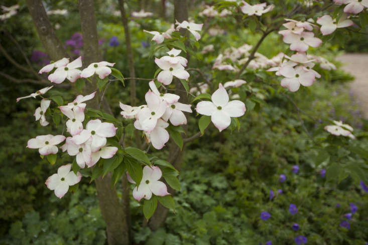 American dogwood mixes with Chinese varieties on Tom Stuart-Smith&#8
