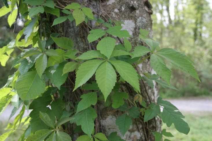 Mature five-leafed Virginia creeper and three-leafed poison ivy mingle on this tree trunk. Photograph by Beast of Traal, via Flickr.