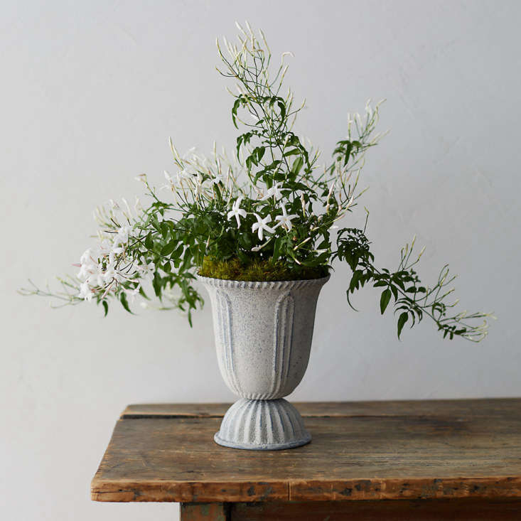 White Jasmine in a tall metal urn is $58 at Terrain.