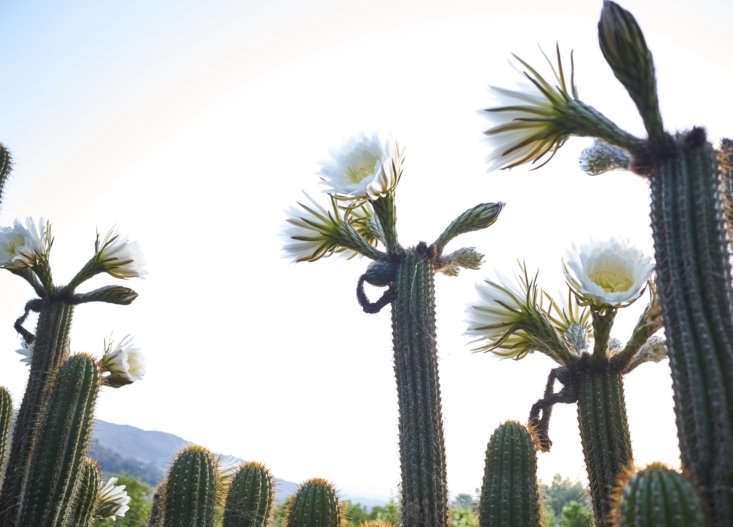 The cacti in summer bloom.