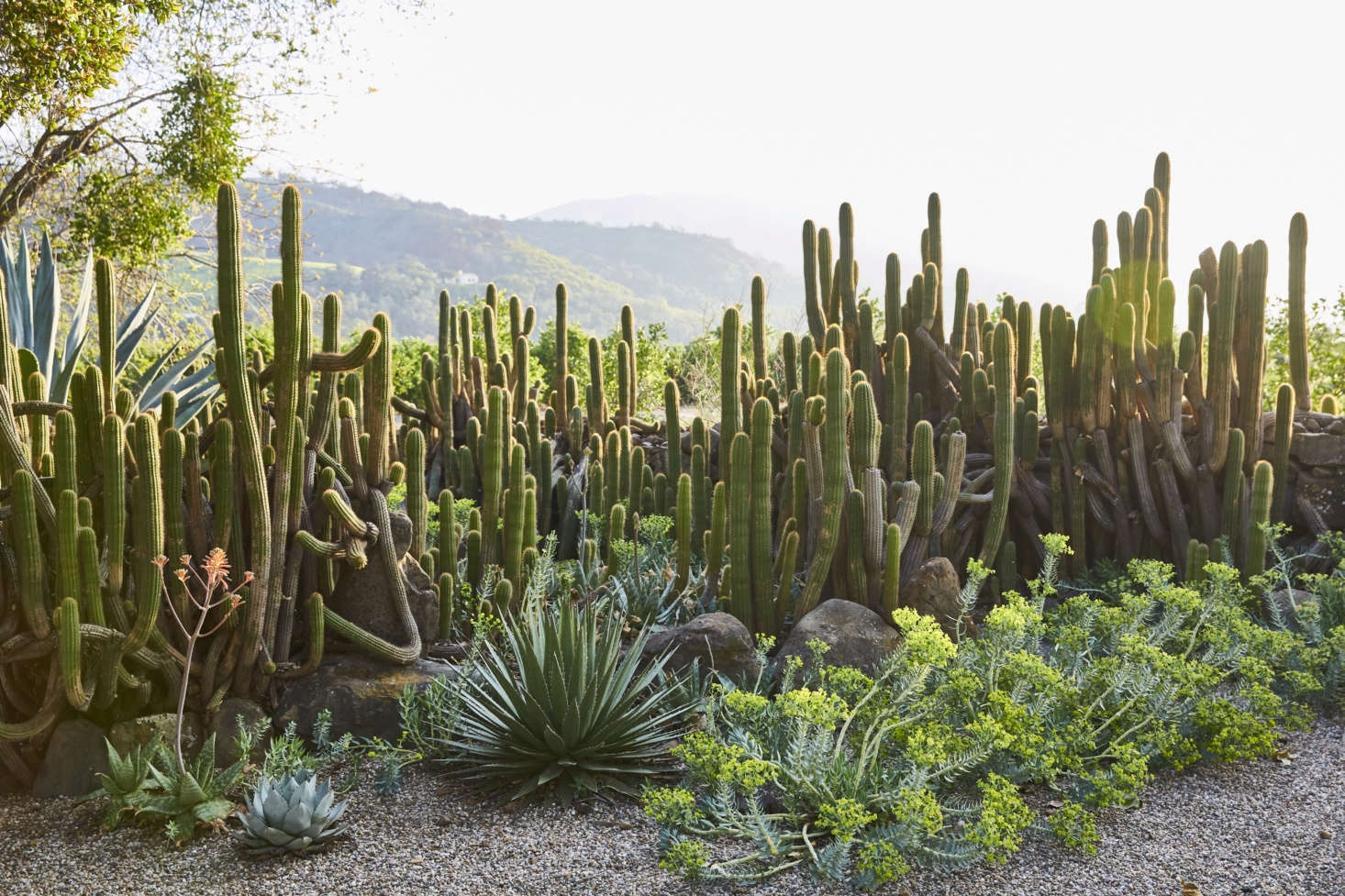 Cacti of all sorts—an element more Californian than French. &#8