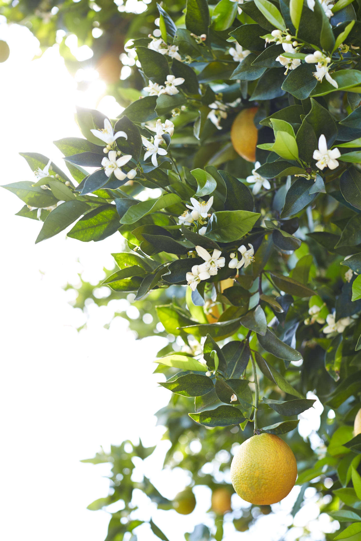 The garden is lush with fruit and citrus trees: &#8