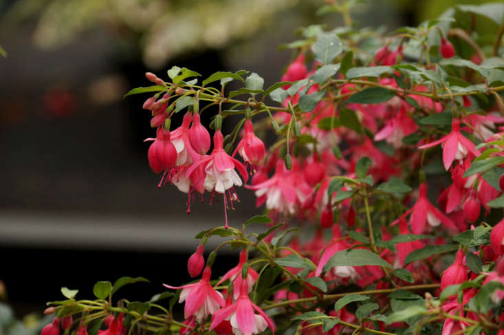 Fuchsia in bloom in Inverness Botanic Gardens in Scotland. Photograph by Tatters via Flickr.