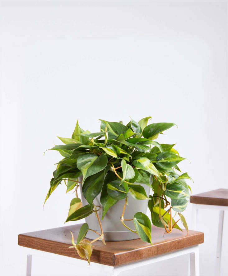 Philodendron Brasil &#8\2\20;is a fast-growing, easy, vining plan,&#8\2\2\1; according to Bloomscape, where it&#8\2\17;s sold for \$65.