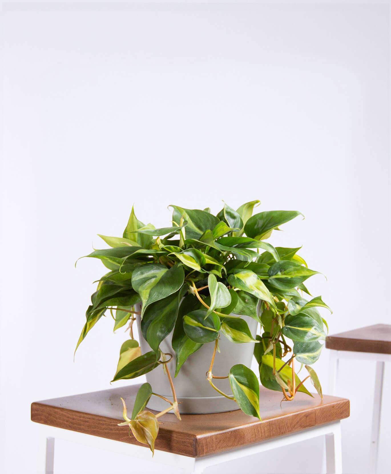 Philodendron Brasil &#8