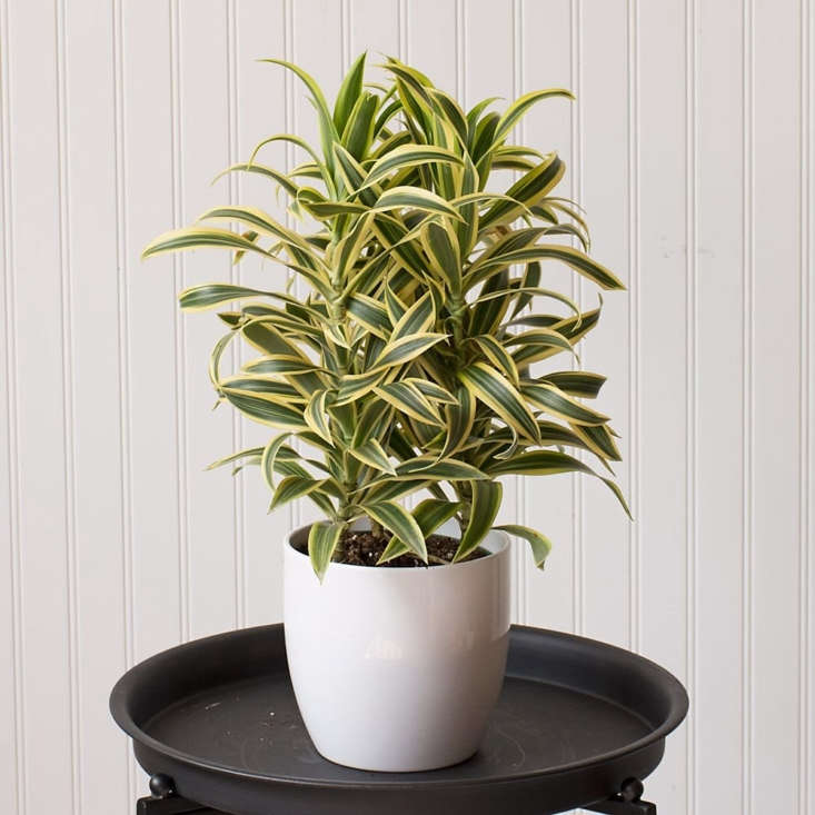 This Dracaena &#8\2\20;Song of India&#8\2\2\1; in a White Ceramic Cachepot is \$49 at White Flower Farm.