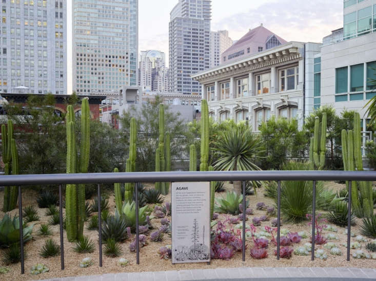 The feature gardens focus on species specifically adapted to the climate of the San Francisco Bay Area, and even more specifically, the microclimates found on this urban rooftop. Seen here is the Desert Garden featuring San Pedro cactus, dasyliron, dragon trees, and various species of agave. Photograph by Marion Brenner.
