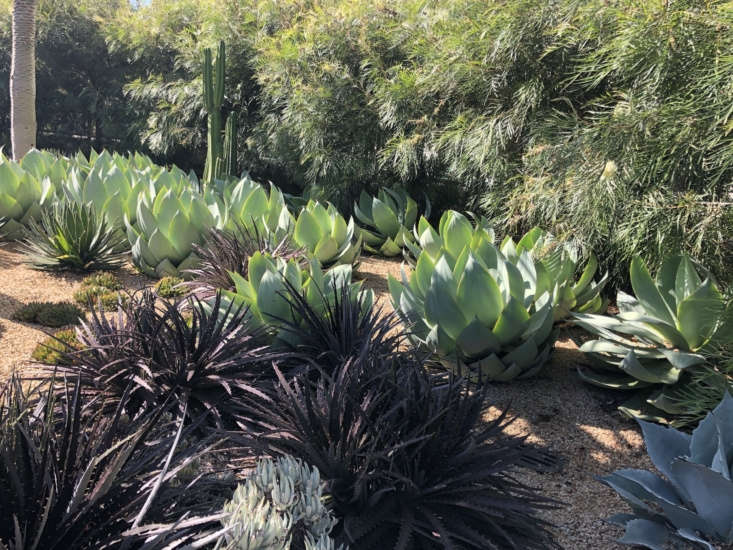 Moody-hued dyckia and grey-green agave celsii specimens in the Desert Garden. Photograph by Adam Greenspan/PWP.