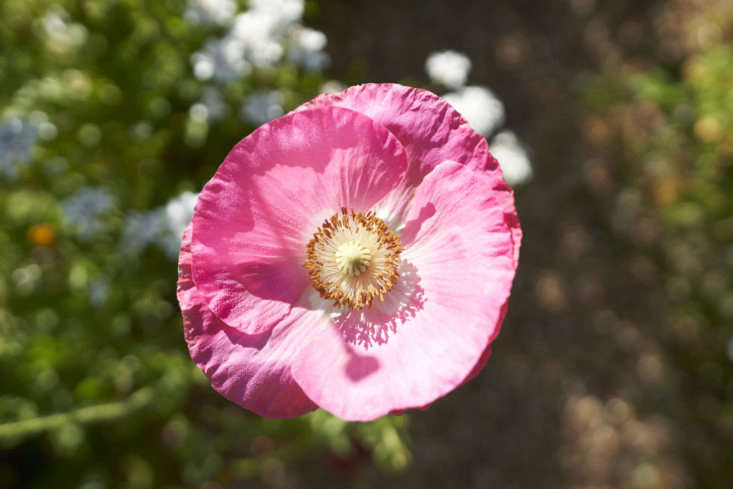 Flowers, such as this pretty in pink poppy, that are for Justine&#8\2\17;s spa are all grown on the Sausalito micro-farm. Photograph by Elina Frumerman.
