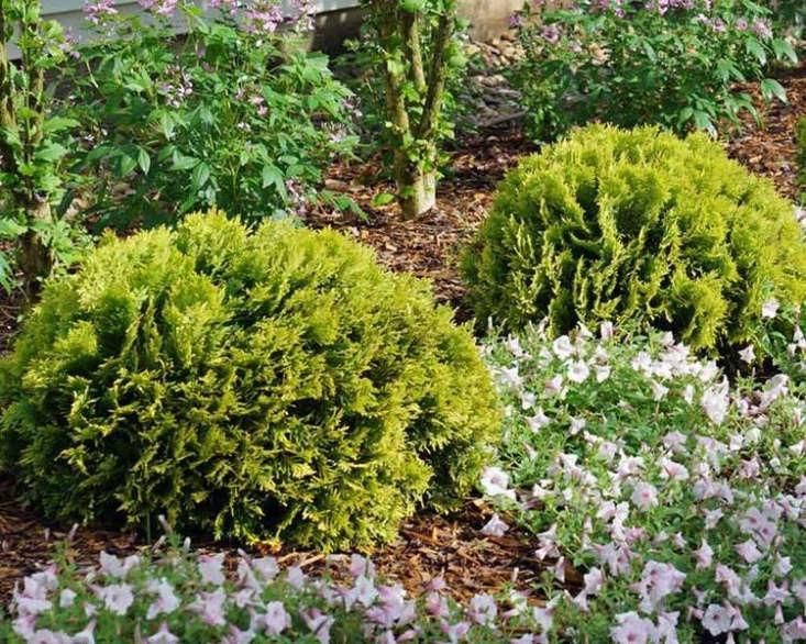 Thuja occidentalis is \$\16.\16 at Bluestone Perennials.