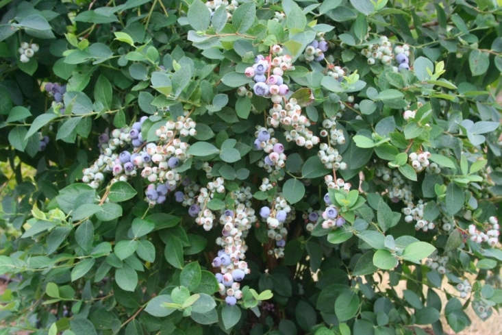A \1.6-gallon pot of &#8\2\16;Bountiful Blue&#8\2\17; Blueberry is \$54.95 from Monrovia.
