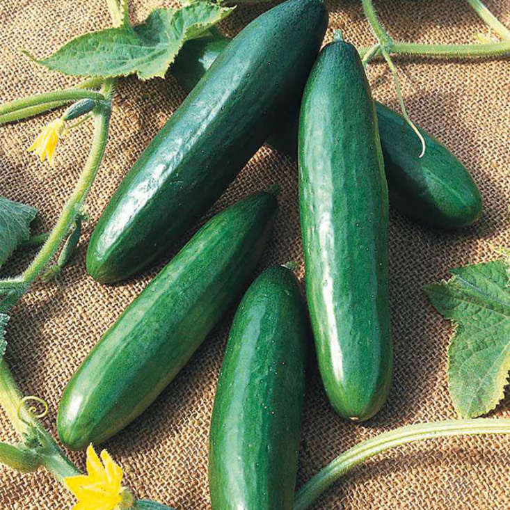 A packet of &#8\2\16;Diva&#8\2\17; Cucumber seeds has about 35 seeds and costs \$3.99 each at Gurney&#8\2\17;s Seed & Nursery Co.