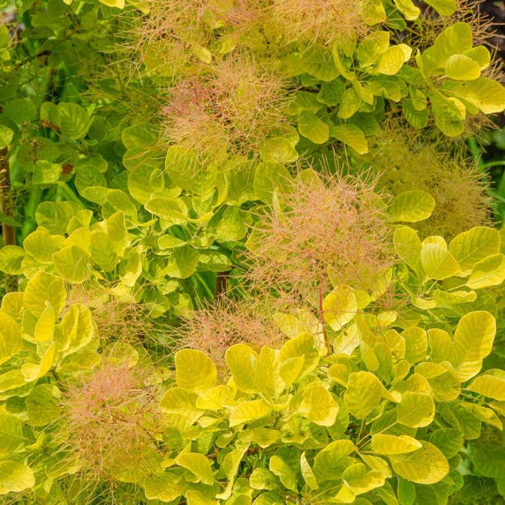 A quart-pot of Golden Spirit Smoke Tree sells for \$\27.99 at Spring Hill Nursery.