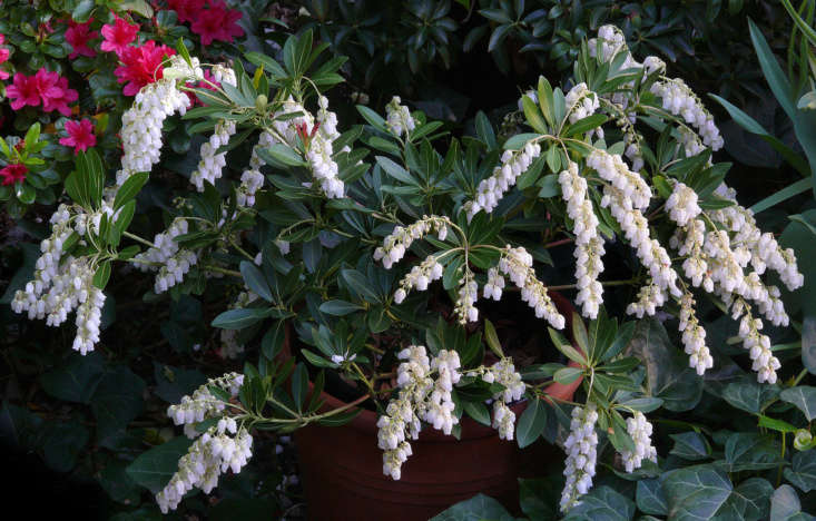 Photograph of Pieris japonica &#8\2\16;Temple Bells&#8\2\17; is by James Gaither via Flickr.