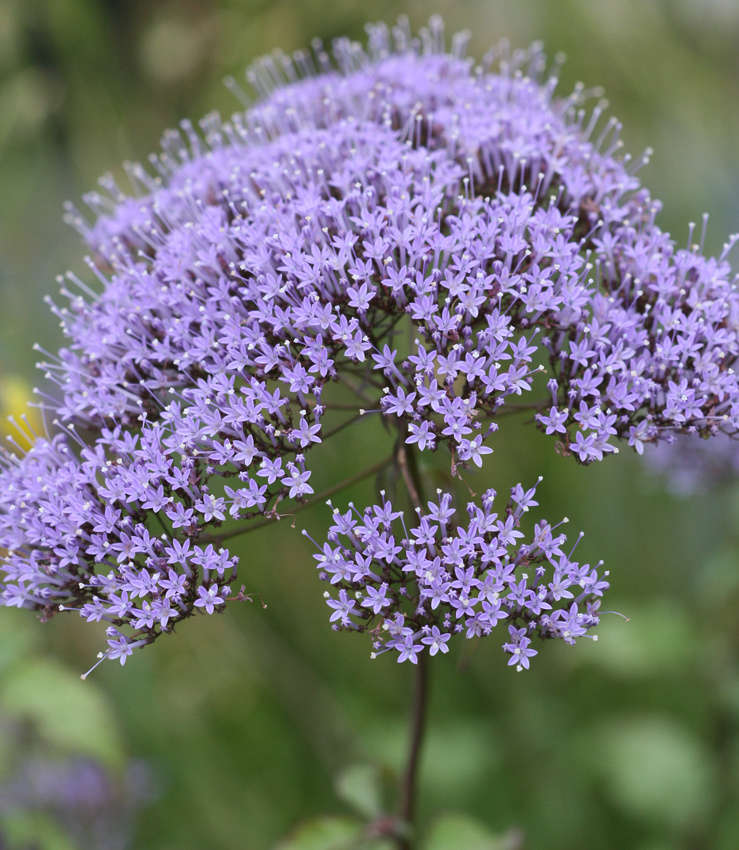 A 4-inch pot of Blue Throatwort is $8.95 at Annie&#8