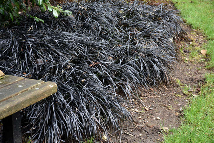 Photograph of Black Mondo Grass via Oakland Nurseries.