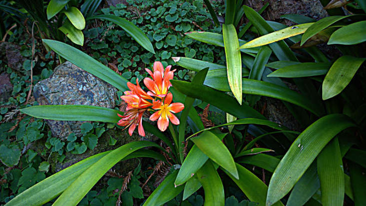 Photograph of a Clivia miniata by John Rusk from Flickr.