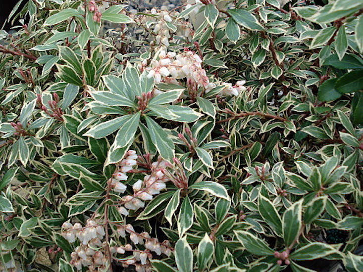 A large number of cultivars exist and some are hybrids listed as P. floribunda. Among my favorites is &#8\2\16;Variegata&#8\2\17;, pictured above, which has burnished red new growth that develops to cream-edged foliage adorned with white flowers. It grows 3 to 5 feet tall. Other favorites include &#8\2\16;Cavatine,&#8\2\17; &#8\2\16;Christmas Cheer,&#8\2\17; and &#8\2\16;Valley Valentine.&#8\2\17; A \2.5-inch pot is \$7.99 at Hirt&#8\2\17;s Gardens.