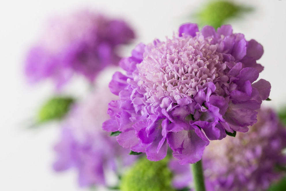 Pincushion flowers come in a slew of colors, ranging from pastels to bolder hues. A pack of src=