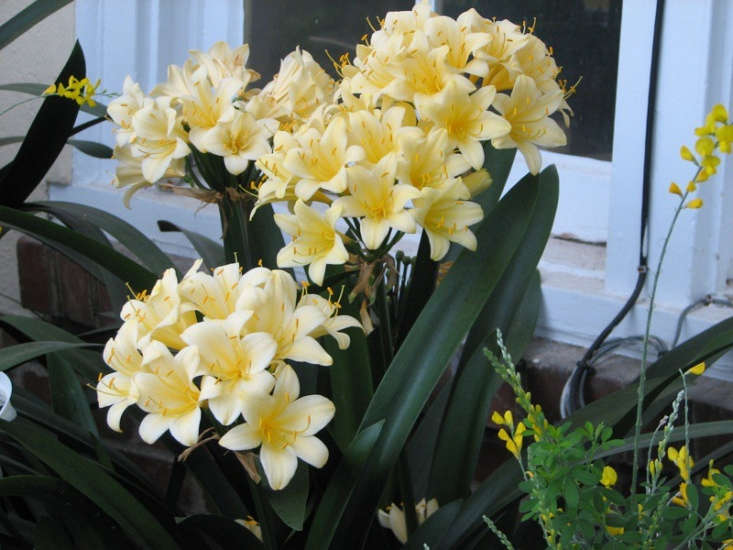 Above; Yellow Clivias are less common. Photograph by ProteinBiochemist from Flickr.