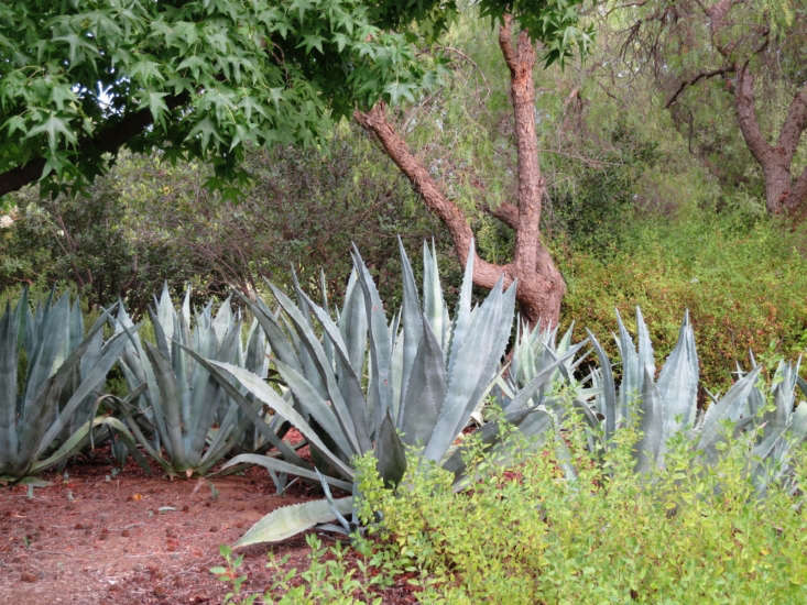 Juxtapose plants that vary dramatically in shape and texture, like the massive silvery spikes of Queen Victoria agave against more delicate leaves, to keep your garden from becoming an undifferentiated mass.