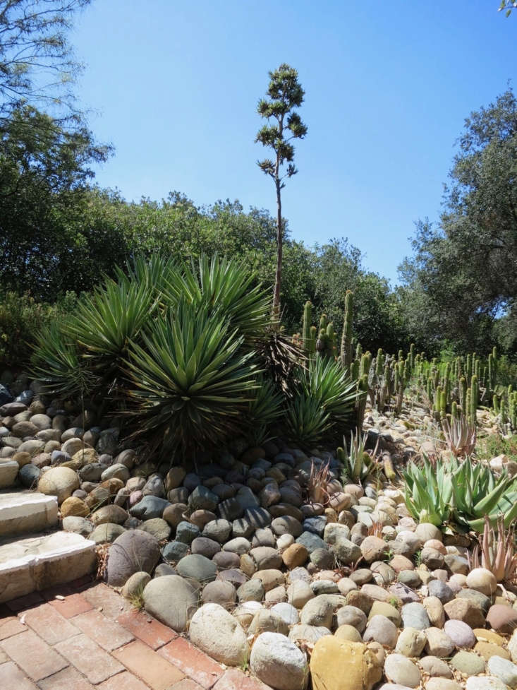 Plants that crave very dry conditions, like agave, yucca and cacti, thrive in a bed of gravel or rock. So do cold-tolerant agaves, succulents and woody Mediterranean plants, like lavender, in more northerly climes.