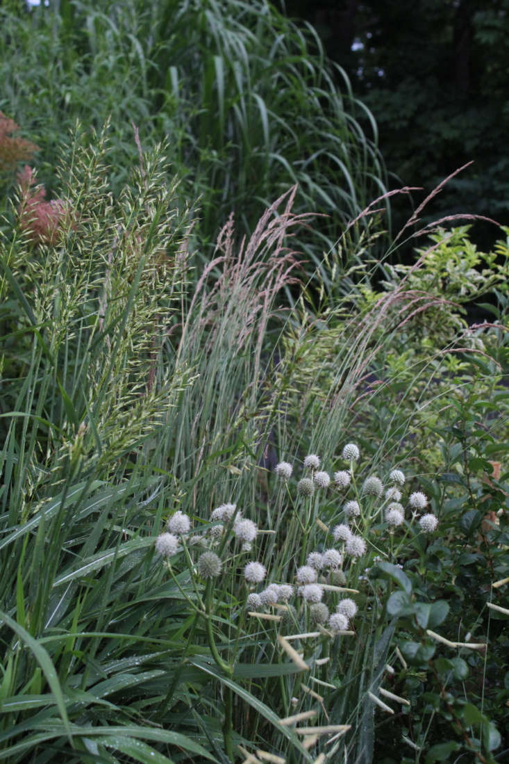 The silvery-white ball-shaped flowers of Rattlesnake Master (Eryngium yuccifolium) pop against tall grasses. (See 5 Favorites: Garden-Friendly Thistles.)