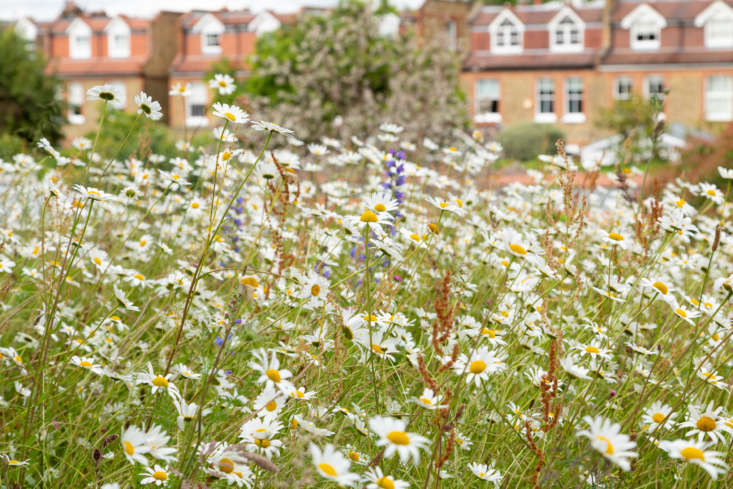 The rooftop daisy meadow, up close.