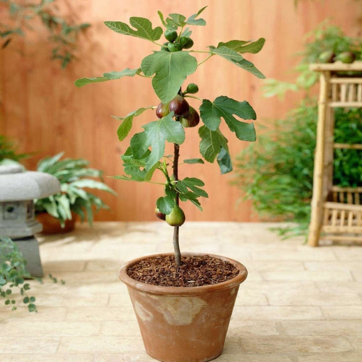 Potted fig trees won&#8\2\17;t grow as tall or wide as those planted in the ground. A 3-gallon pot of Ficus carica &#8\2\16;Little Miss Figgy&#8\2\17; Tree is \$49.95 at Fast Growing Trees.