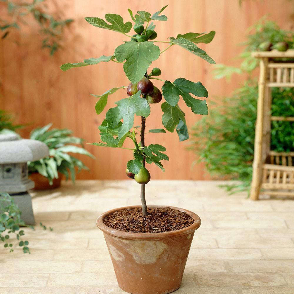 Potted fig trees won&#8