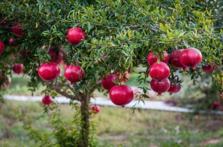 A 3-gallon container of Wonderful Pomegranate is $$69.90 at Plantogram.