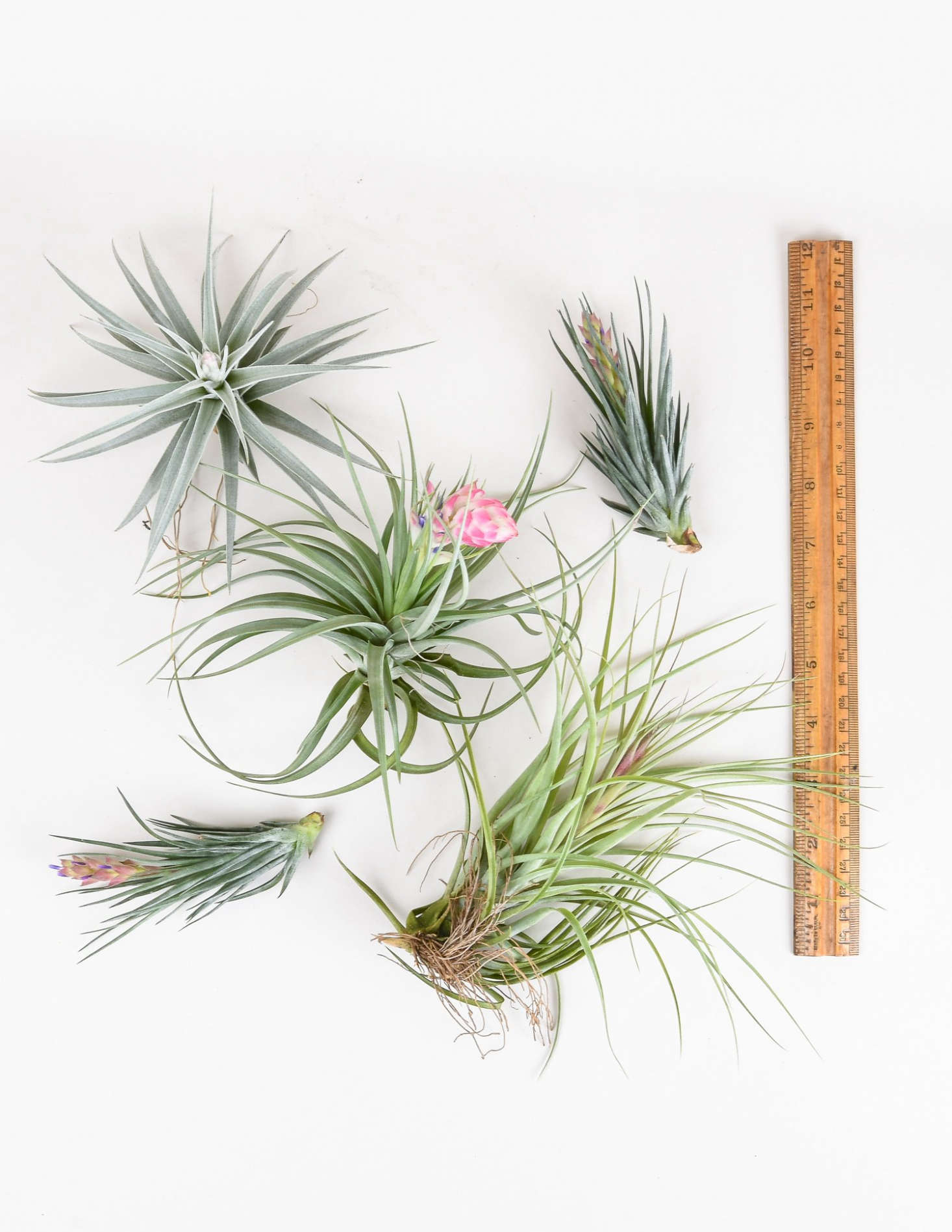 Surprise your loved one with a spiky Tillandsia that blooms; $8 each at Pistils Nursery.